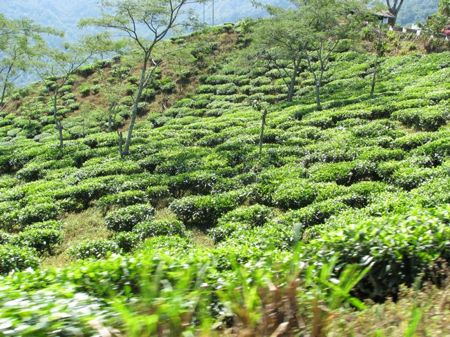 Darjeeling produces some of the best tea in the world