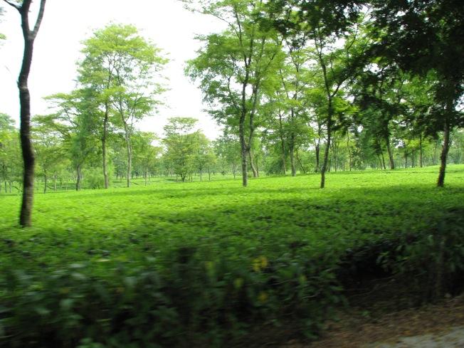 More tea gardens
